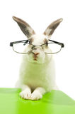Vetri da portare del coniglio bianco Fotografia Stock