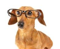 Vetri di usura del cane del bassotto tedesco Fotografia Stock