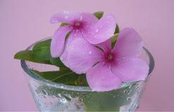 Vetro del catharanthus roseus Immagini Stock