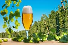 Vetro di birra prima del raccolto di luppolo Fotografia Stock