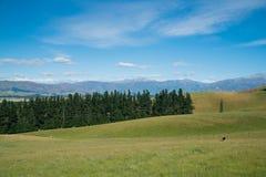 Vetro verde dell'alta collina che coltiva con il fondo della montagna, Nuova Zelanda Immagine Stock