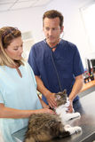 Vets discussing cat's health Royalty Free Stock Photos