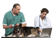 Vets examining a Border Collie with a digital. Otoscope in front of white background Stock Image