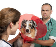Vets putting a space collar on an Australian Stock Photography