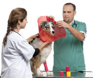 Vets putting a space collar on an Australian Royalty Free Stock Photography