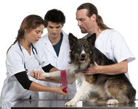 Vets wrapping a bandage around a Border Collie's Stock Photos