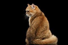 Vette Britse Cat Gold Chinchilla Sitting Back, Knorrige Zwarte Stock Afbeeldingen