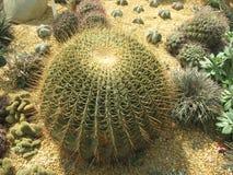 Vette cactus Royalty-vrije Stock Fotografie