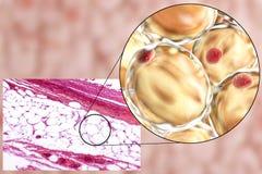 Vette cellen, micrograaf en 3D illustratie Stock Afbeelding