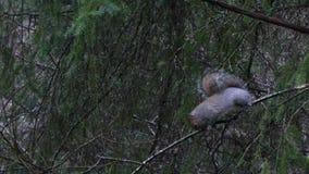 Vette grijze eekhoorn die groen mos en voedsel op de wintertakken zoeken stock video