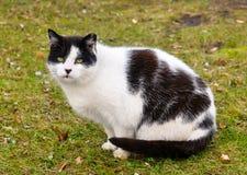 Vette grote kat op het gras stock afbeeldingen