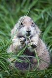 Vette Groundhog 2 Royalty-vrije Stock Afbeeldingen
