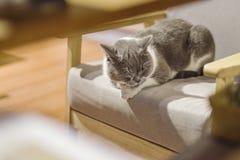 Vette kat die op een kruk rusten stock fotografie