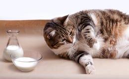 Vette Kat met Melk Stock Afbeeldingen