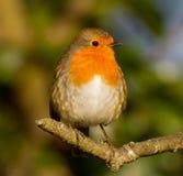 Vette Robin op tak Royalty-vrije Stock Afbeeldingen