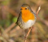 Vette Robin op tak Stock Afbeeldingen