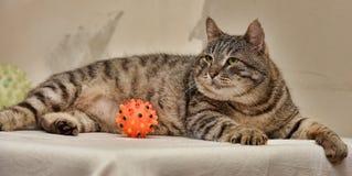Vette Tabby Cat Royalty-vrije Stock Afbeelding