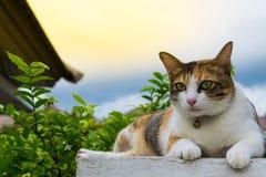 Vette Thaise kat die op een muur dichtbij een boom in het huis vóór zonsondergang liggen Royalty-vrije Stock Afbeeldingen