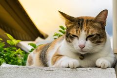 Vette Thaise kat die op een muur dichtbij een boom in het huis vóór zonsondergang liggen Royalty-vrije Stock Foto's