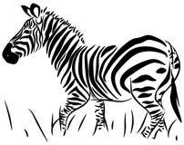Vettore completo della zebra del corpo Immagine Stock