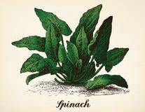 Vettore d'annata dell'illustrazione degli spinaci Fotografia Stock