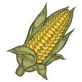 Vettore del mais della pannocchia di granturco Isolato su priorità bassa bianca Ingrediente di alimento del cereale Fotografia Stock