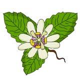 Vettore dell'illustrazione del fiore del frutto della passione illustrazione vettoriale