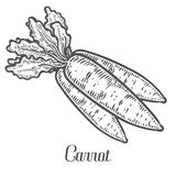 Vettore della carota Isolato su priorità bassa bianca Ingrediente di alimento della carota Fotografia Stock Libera da Diritti
