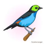 Vettore educativo del gioco dell'uccello del tanager di paradiso illustrazione vettoriale