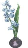 Vettore porpora di fioritura dell'acquerello del giacinto Immagini Stock