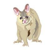 Vettore realistico dell'opossum Fotografia Stock Libera da Diritti