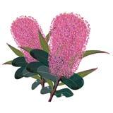Vettore rosa Illustraton di Banksia Fotografia Stock