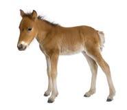Veulen (4 weken oud) Royalty-vrije Stock Foto