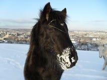 Veulen in de Sneeuw Stock Foto