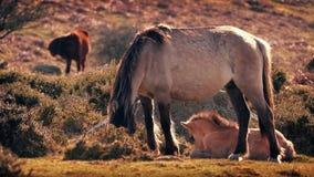 Veulen die naast Moeder het Weiden bij Zonsondergang liggen stock videobeelden