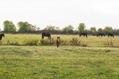 Veulen en kudde van paarden die op weide weiden Royalty-vrije Stock Afbeeldingen