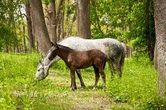 Veulen en paard stock afbeelding
