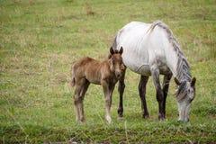 Veulen en paard in de weide royalty-vrije stock afbeelding