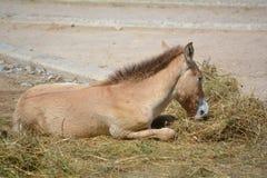 Veulen - Przewalskis-paard (Equus-przewalskii) Royalty-vrije Stock Fotografie
