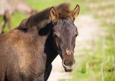 Veulen van (tarpan) wild paard Stock Afbeeldingen