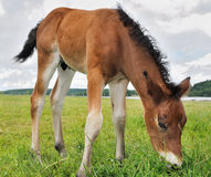 Veulen weidend gras stock foto