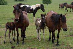 Veulens met paarden stock afbeelding