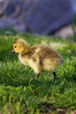 Vey cute cackling goose chick Stock Images