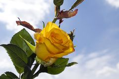 Very pretty yellow rose close up in the sunshine Royalty Free Stock Image