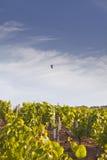Vezelay vineyards Stock Image