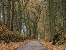 Väg till och med ekskog på nedgången Royaltyfri Fotografi