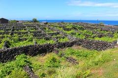 Viñedo abrigado del océano con la piedra volcánica fotografía de archivo