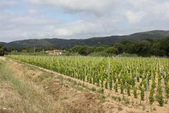 Viñedo cerca de Ramatuelle, Provence Fotos de archivo