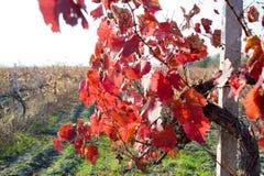 Viñedo colorido del otoño Foto de archivo libre de regalías