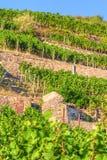 Viñedo con diversas clases de vino con en verano Imagenes de archivo